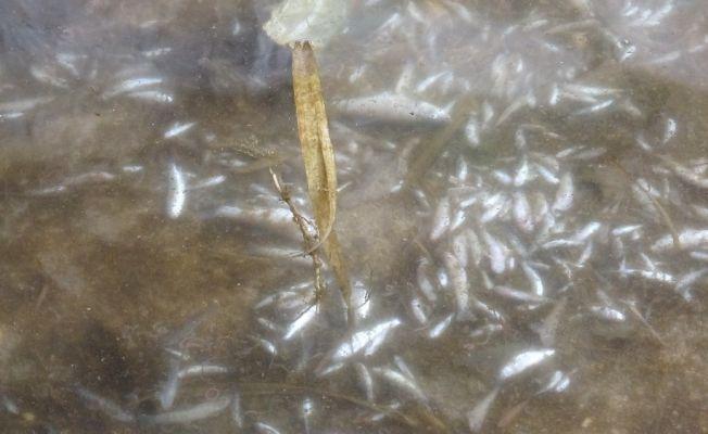 Kozan'da derede yüzlerce balık telef oldu