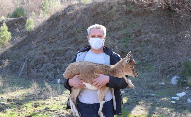 Yavru dağ keçisine belediye çalışanı sahip çıktı