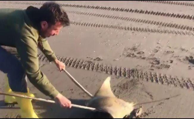 Sahilde mandabaş vatoz bulundu