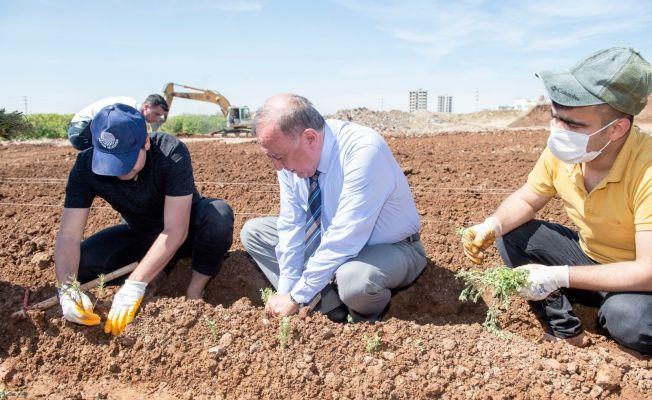 Tıbbi ve aromatik bitki fideleri toprakla buluştu