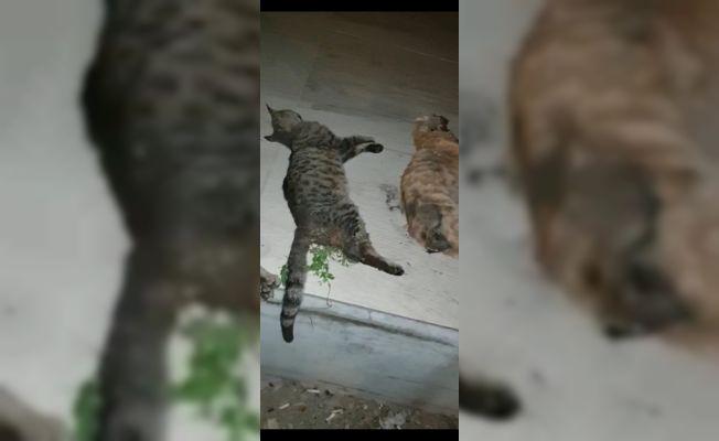 Zehirlenmiş halde bulunan kedilerden üçü telef oldu