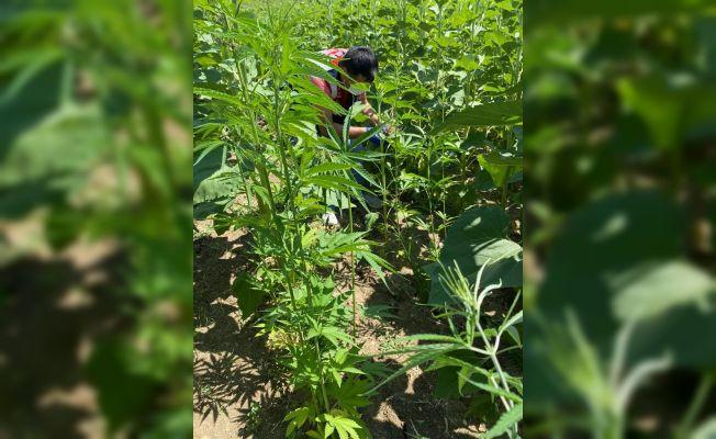 Ayçiçeği tarlasında 150 kök kenevir bitkisi ele geçirildi