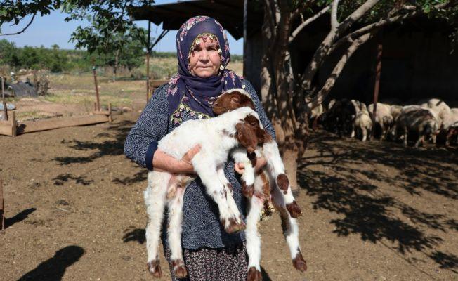 Bakanın hediye ettiği 40 koyun 80'e çıktı