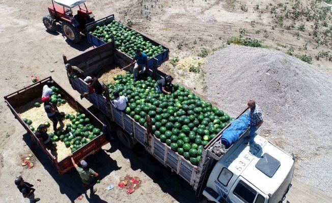 Adana karpuzunda hasat zamanı