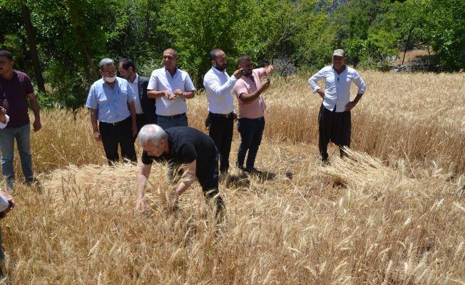 Başkan Özgan orakla ekin biçti