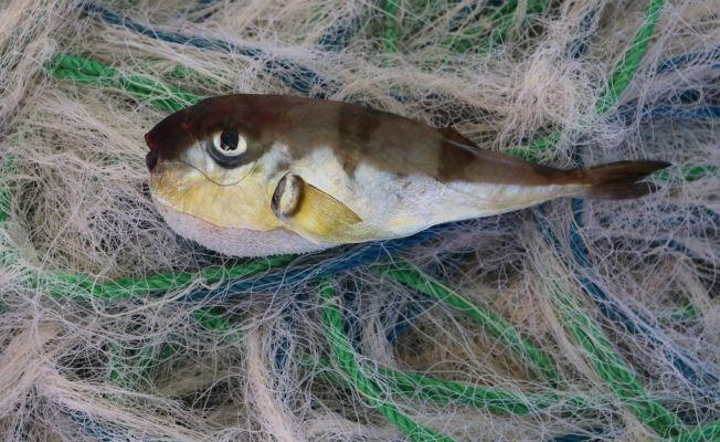 Balıkçılar avlayamıyor... Balon balıkları ağları parçalıyor