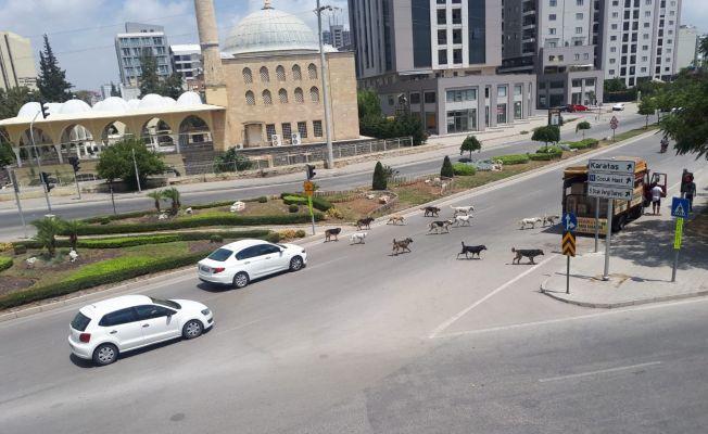 Sokak köpekleri Adana sokaklarında sürü halinde geziyor