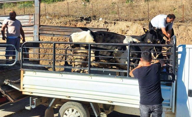 Yangından etkilenen köylülere büyükbaş hayvan desteği