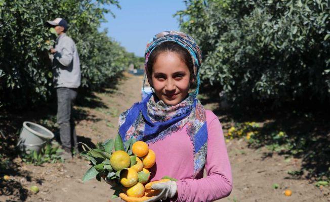 Adana'da mandalina hasadı sürüyor, fiyatı 1 liraya düştü